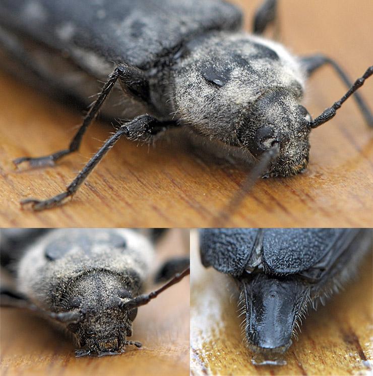 Insectes xylophages traitement des poutres et meubles for Carbonyle traitement du bois