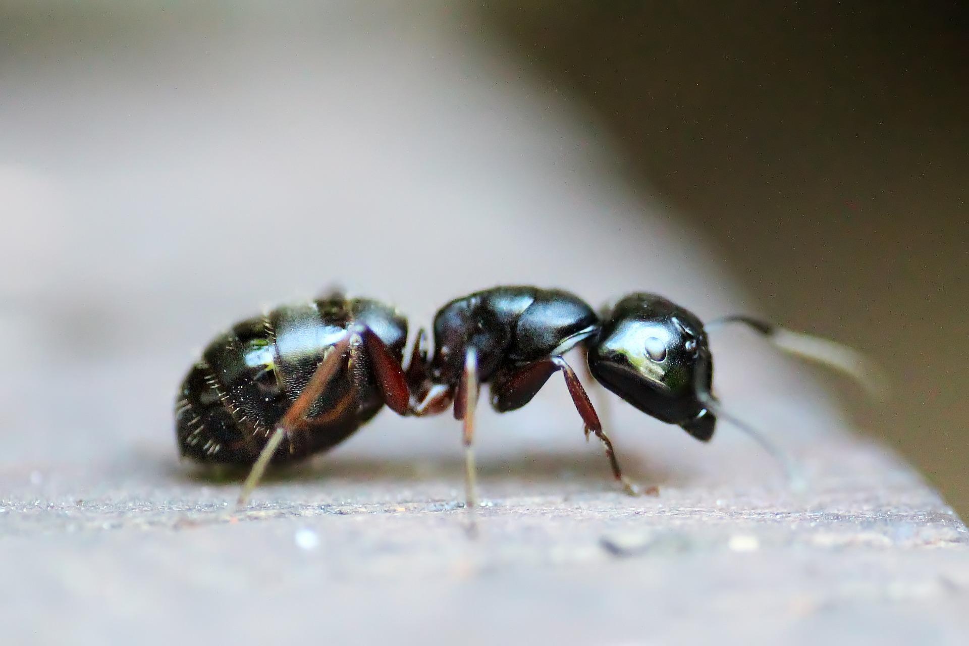 Traitements fourmis fourmis d 39 argentine fourmis des jardins pest control services - Fourmis dans le jardin ...
