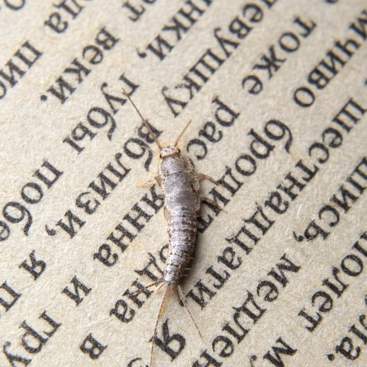 Silverfish treatments