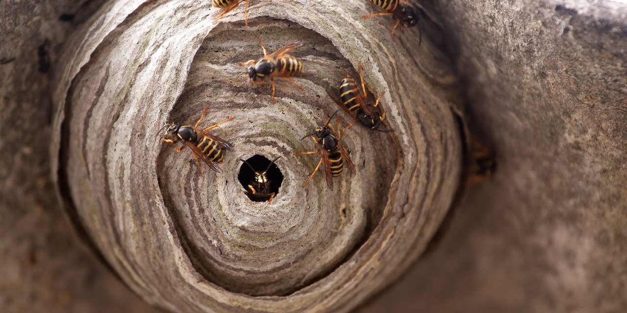 Wasps and hornets elimination