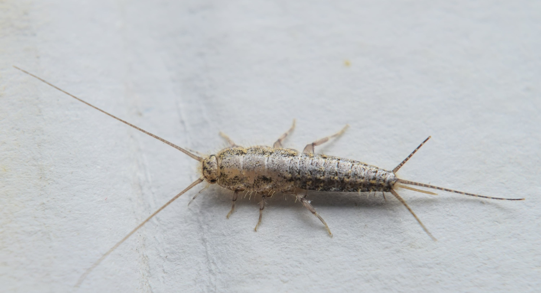 Disposal of silverfish