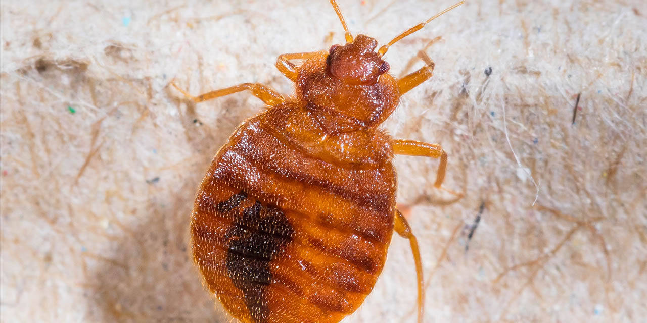 Disinsection of bed bugs